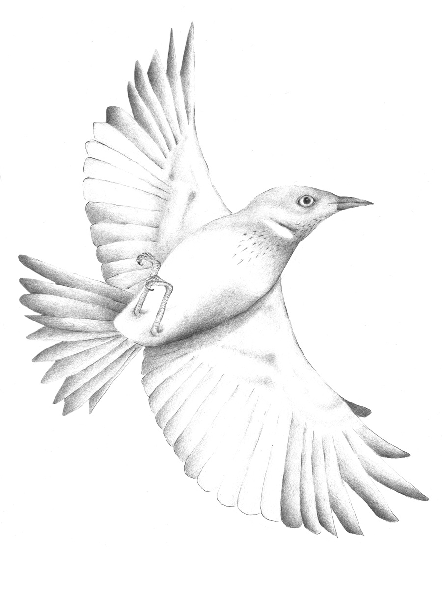 Louise Jennison,  White-plumed Honeyeater  ( Lichenostomus p    enicillatus ), 2013, drawing