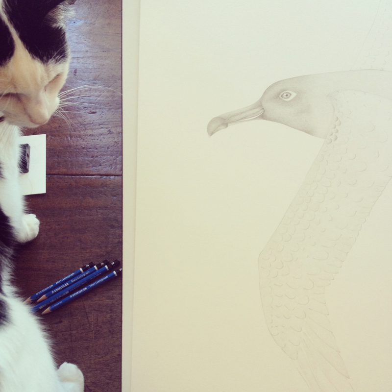 On the drawing board, Louise's Sooty Albatross takes form