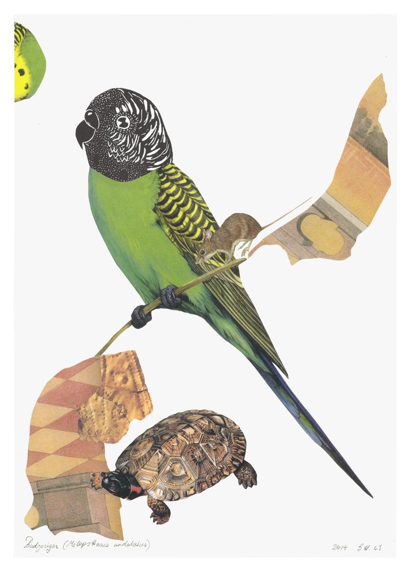 Budgerigar (Melopsittacus undulatus)  for the Brimblebox 153 Bird project