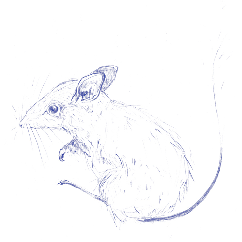 From a forthcoming zine,  Afternoon of a Hopping Mouse (Notomys mitchellii)  (featuring drawings from a day drawing specimens at Melbourne Museum).