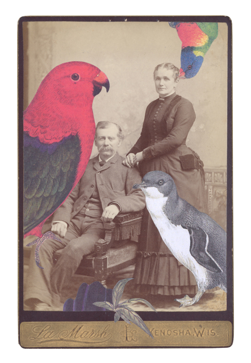 An Australian king-parrot ( Alisterus scapularis ),Rainbow lorikeet ( Trichoglossus moluccanus ), and Little penguin ( Eudyptula minor ) from   Prattle scoop trembling: a flutter of Australian birds