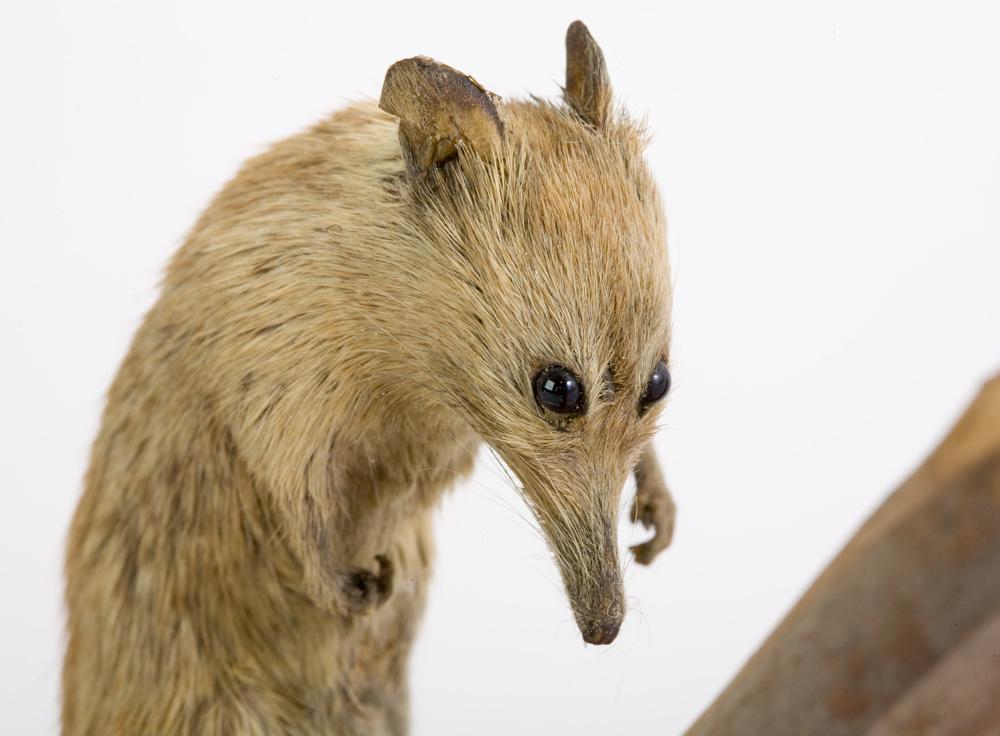 gracialouise_Creeping-Honey-Possum_06.jpg