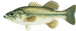 LargeMouth Bass Sized.png