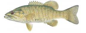 SmallMouth Bass Sized.png