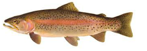 Trout Sized.png