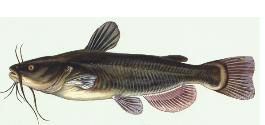 Catfish Sized.png