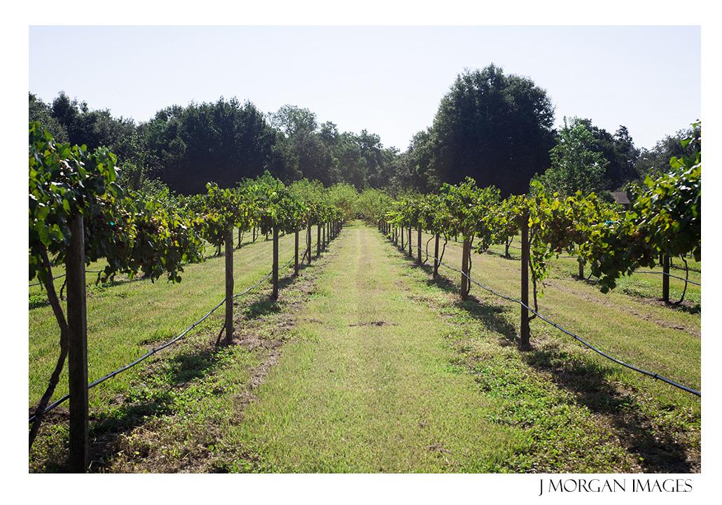vineyard in florida