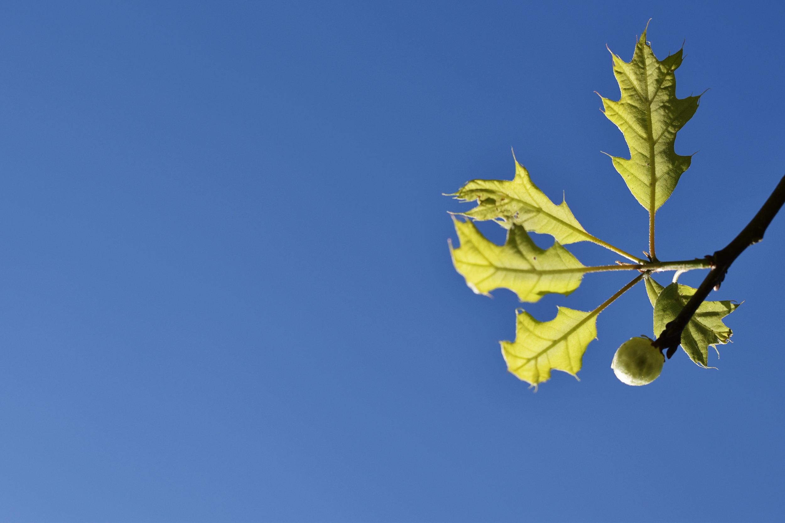 D5600 green leaves against blue sky by kellie bieser.jpg
