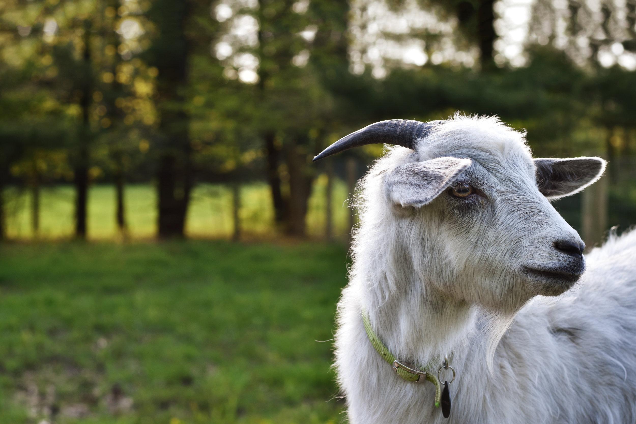 D5600 white goat by kellie bieser.jpg