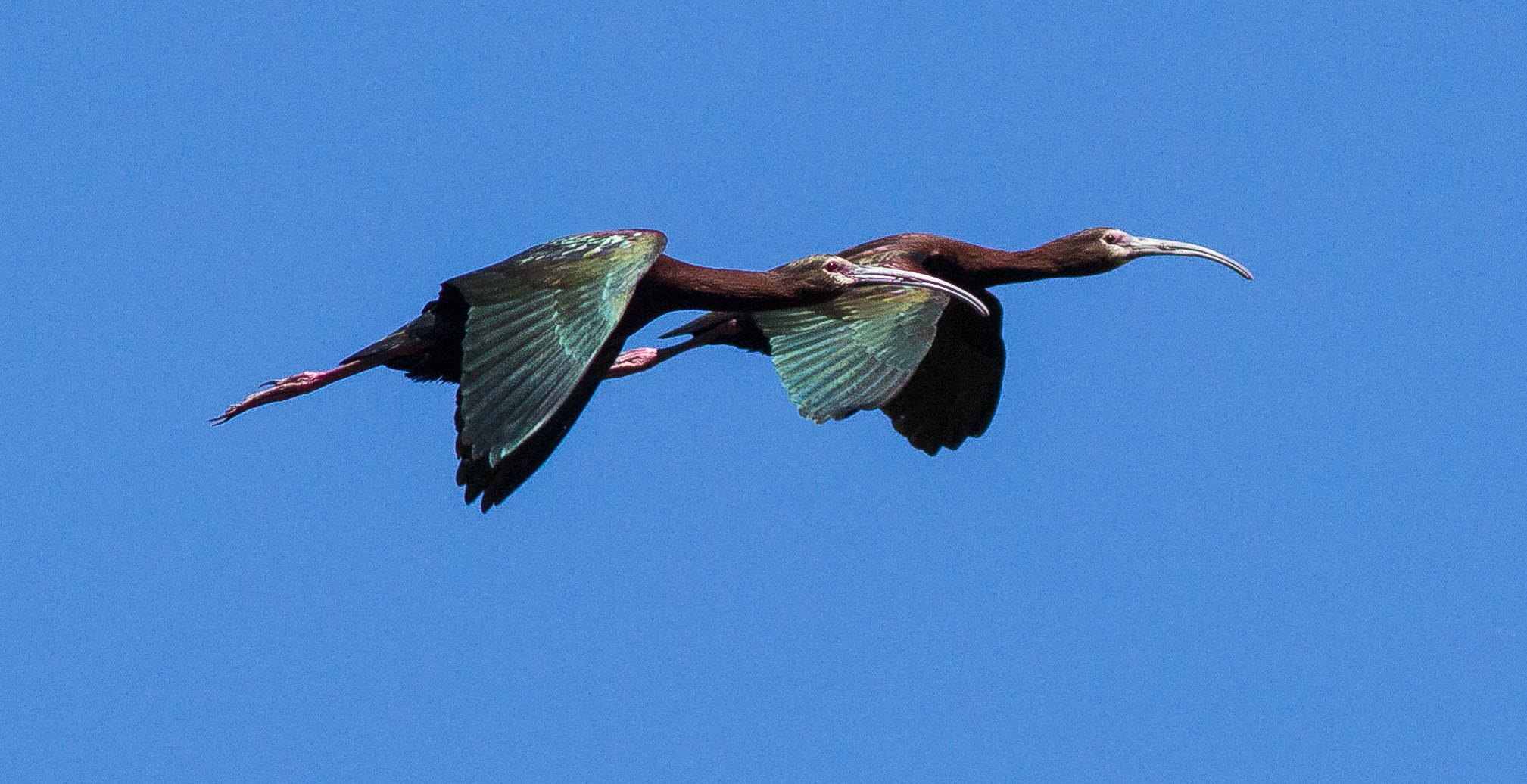 Bald Faced Ibis, Red Rock Lakes NWR