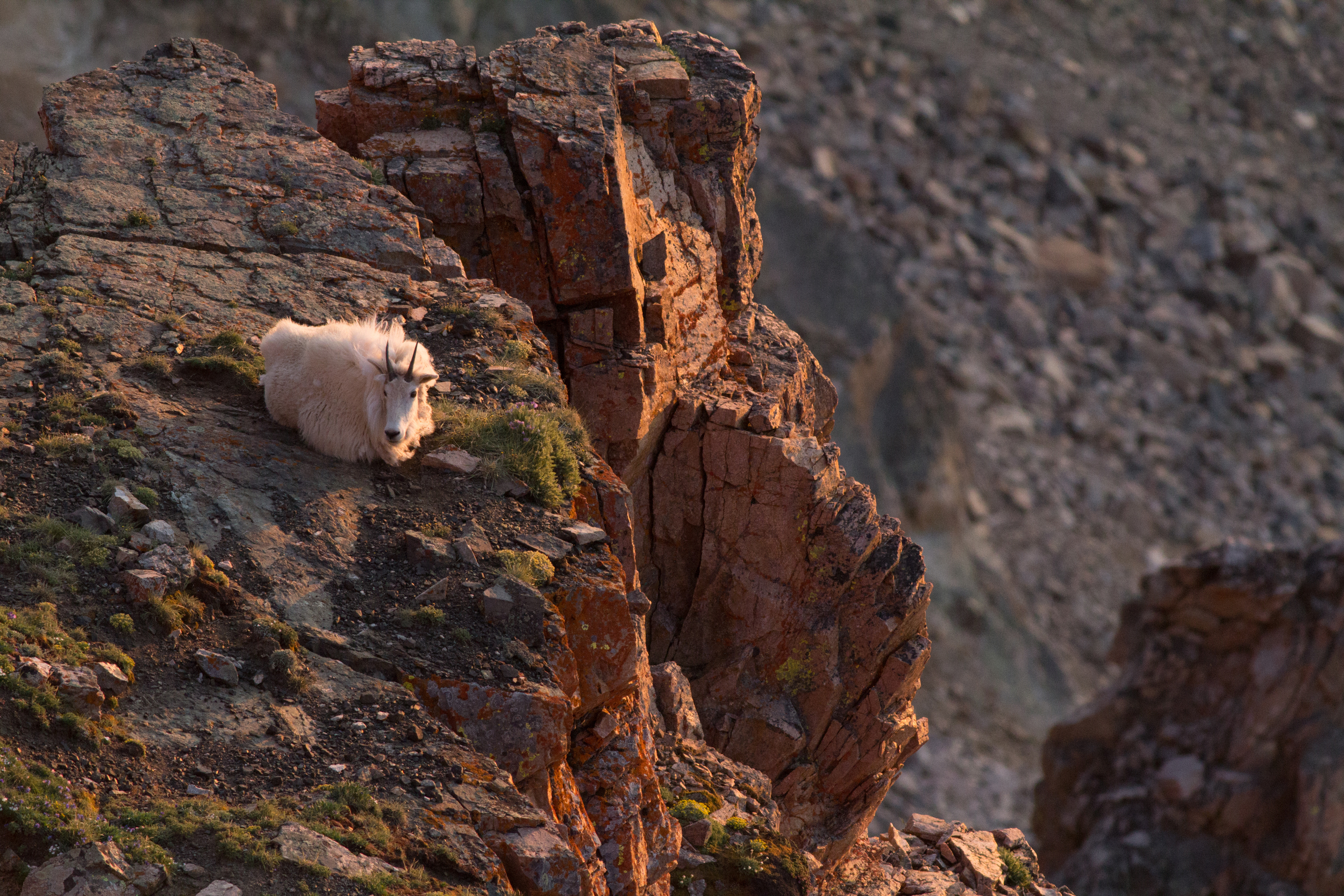 Mountain Goat, Beartooth Wilderness