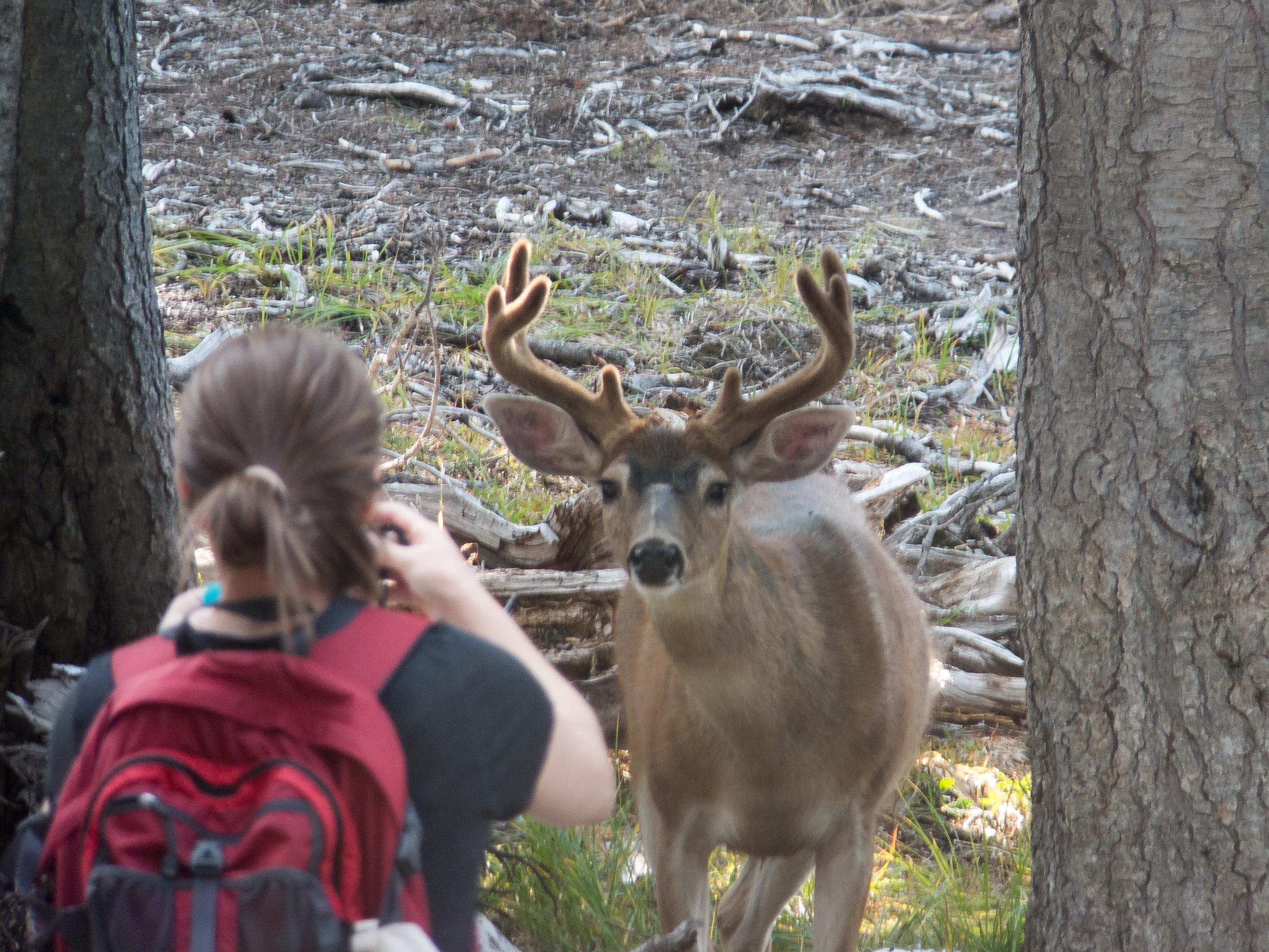Mule Deer, Olympic NP