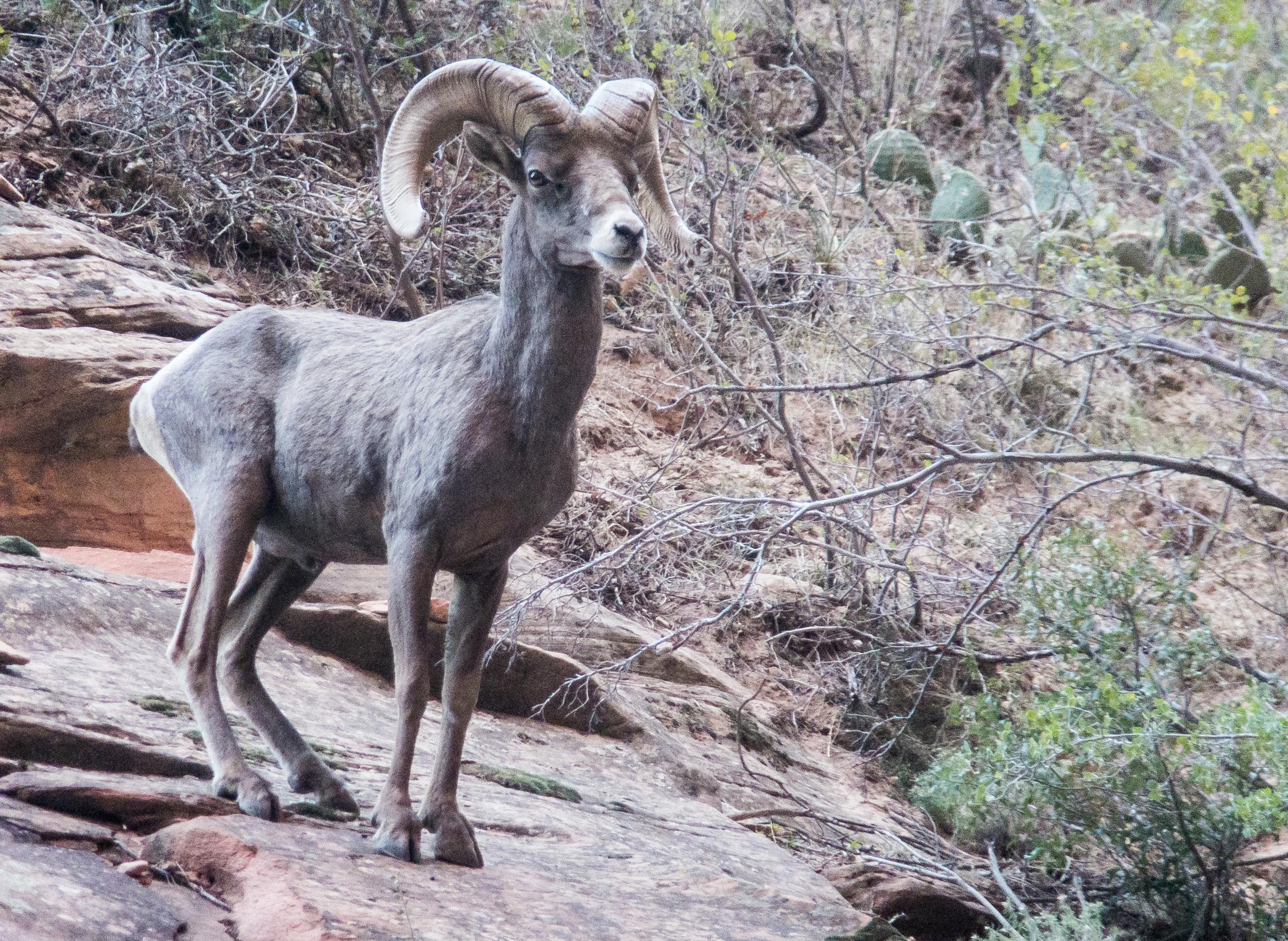 Big Horn Sheep, Zion NP