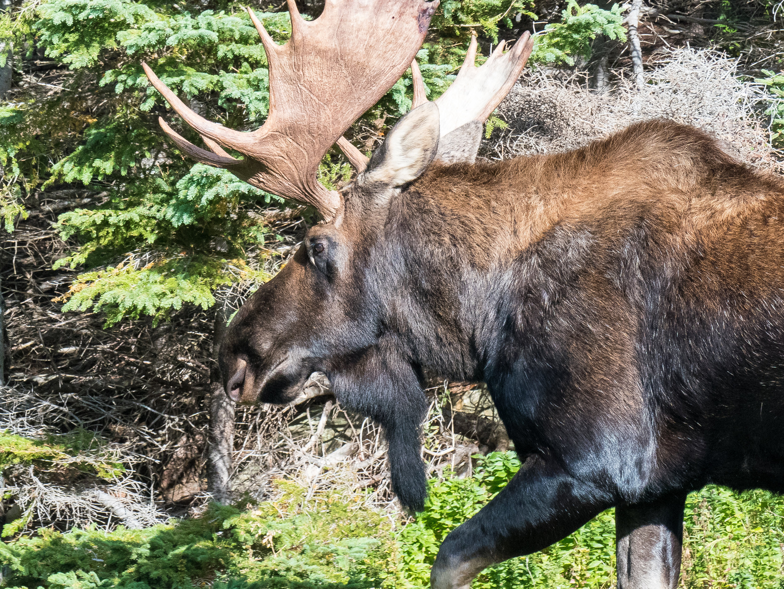 Nova Scotia Moose