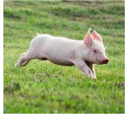 happy-running-piglet.jpg