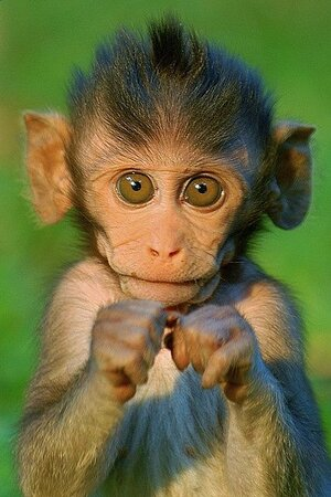 Awww - the story is so much better when it's about cute baby baboons creating chaos….