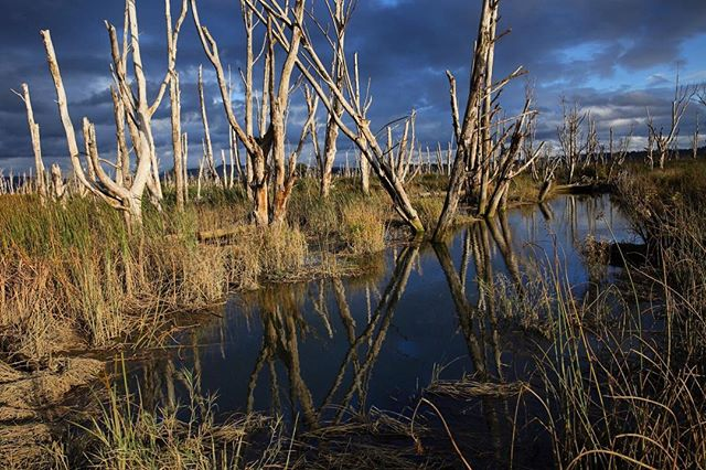 The inter-tidal marsh of Skagit Bay Wildlife Area, Washington.