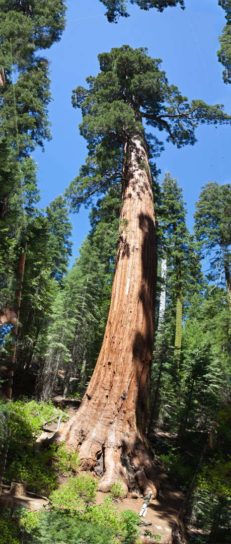 > The Giant sequoia trees are so tall that it is almost impossible to shoot them in full length and give a real perspective of height.  > I did it with four frames and stitched them together vertically in a panorama.  > There is obvious and inevitable optical distortion.  > See our tour guide standing below in green and white to get the idea about the height