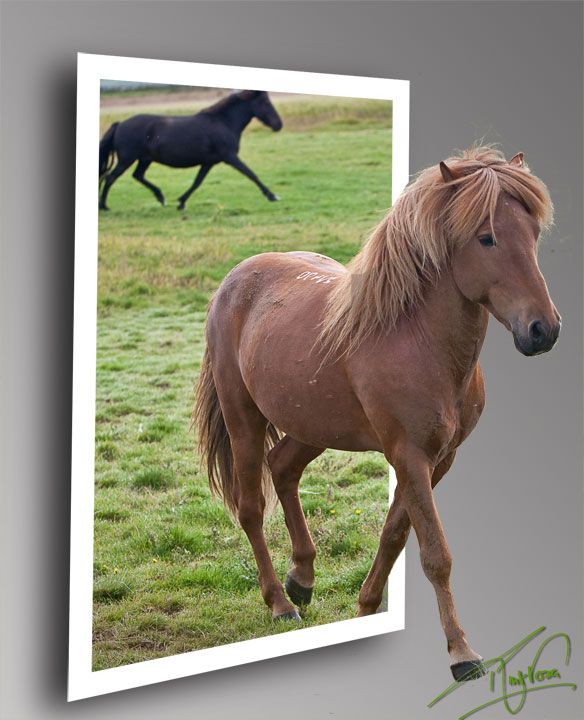 When I was in Iceland I shop a picture of a beautiful Icelandic horse.  Today while playing in Photoshop I decided to break it thru the scene in faux 3D.  So here is the horse breaking thru the picture.