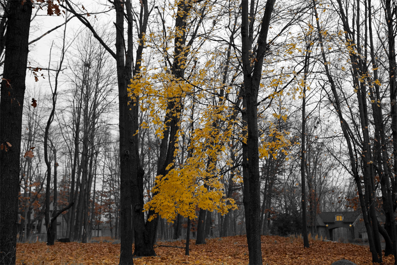 The fall is over. The leaves should all be bagged and gone in trash. Some leaves are still on ground waiting to be picked up. The woods have to be bleak and gloomy grey by now, all waiting for the first snow. But you still find some stubborn and insubordinate leaves who did not get the memo.
