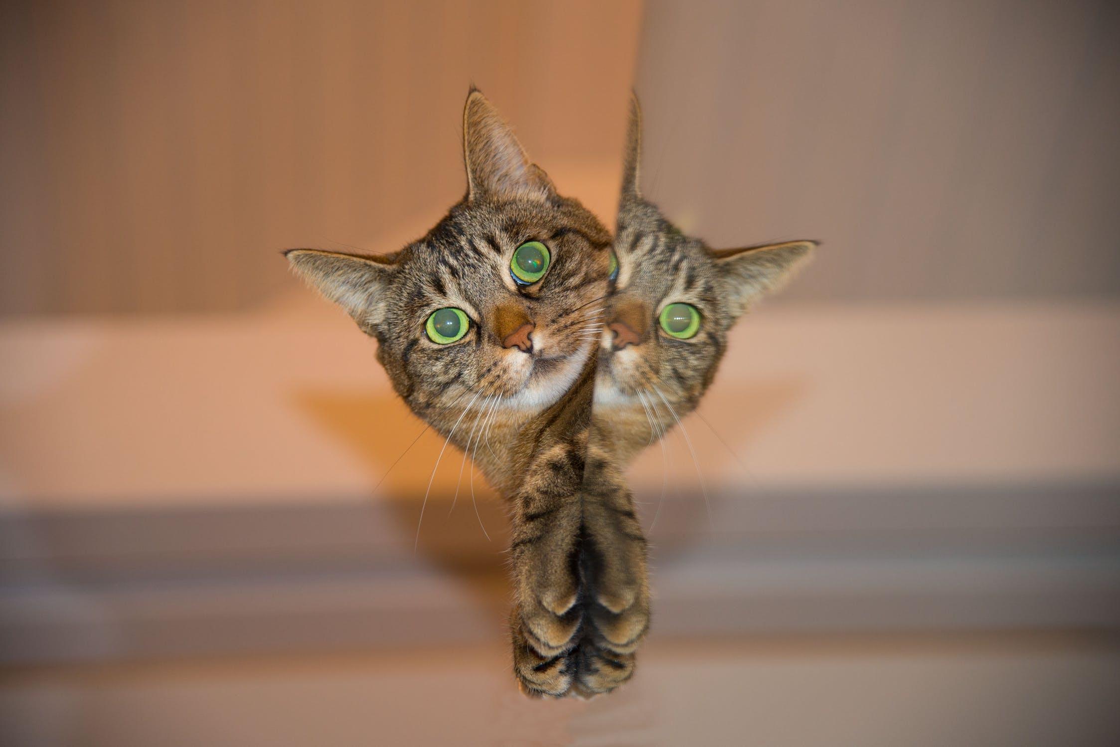 cat-pet-mirror.jpg