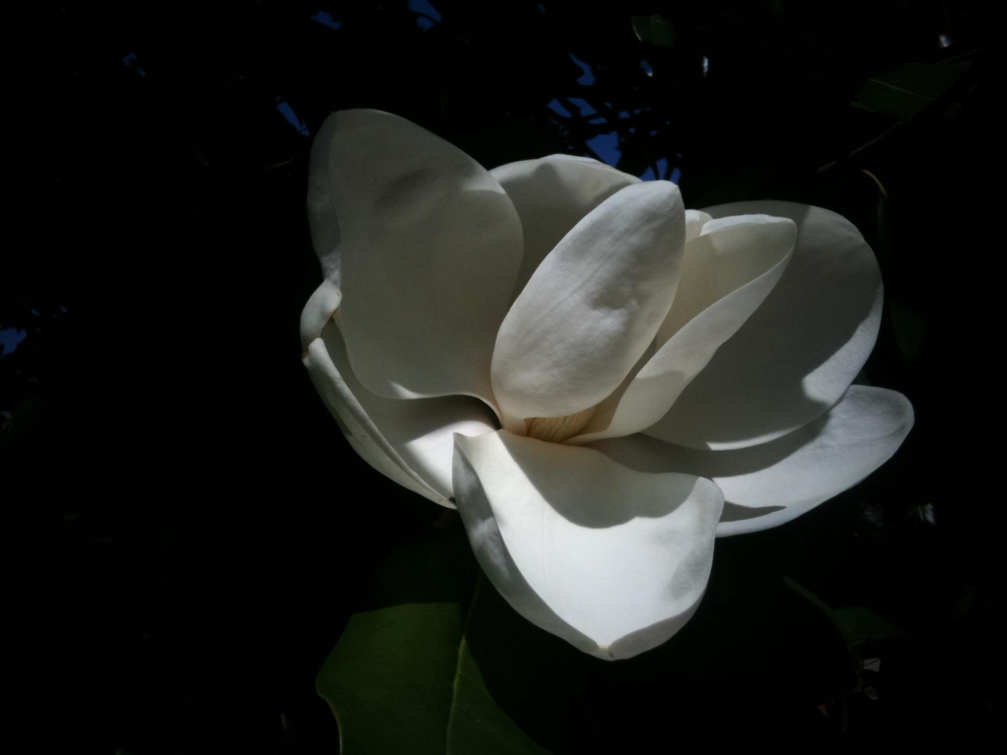 June bloom - Sweet magnolia on campus