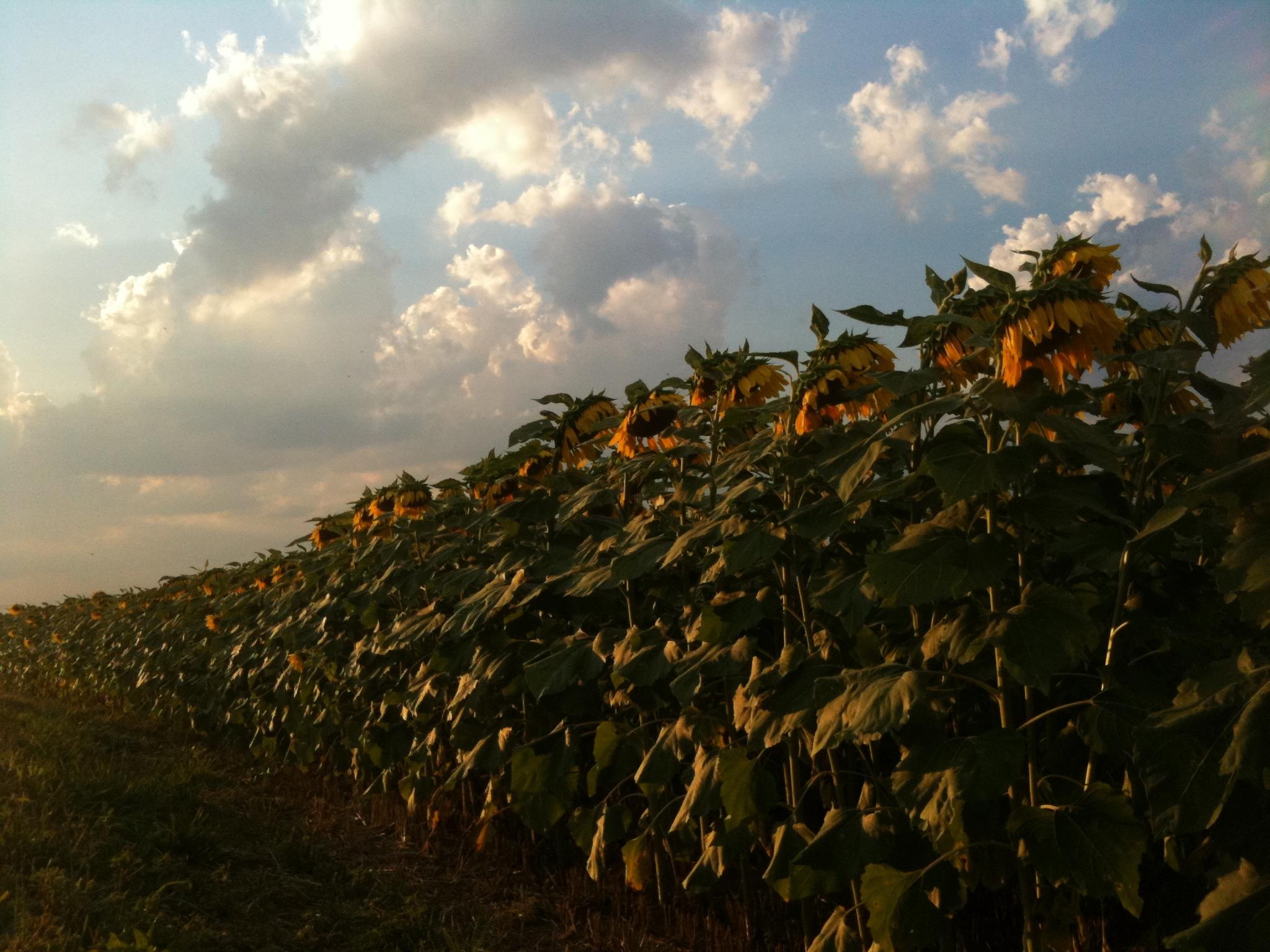 Longwood Sunflowers - Mobile Photos