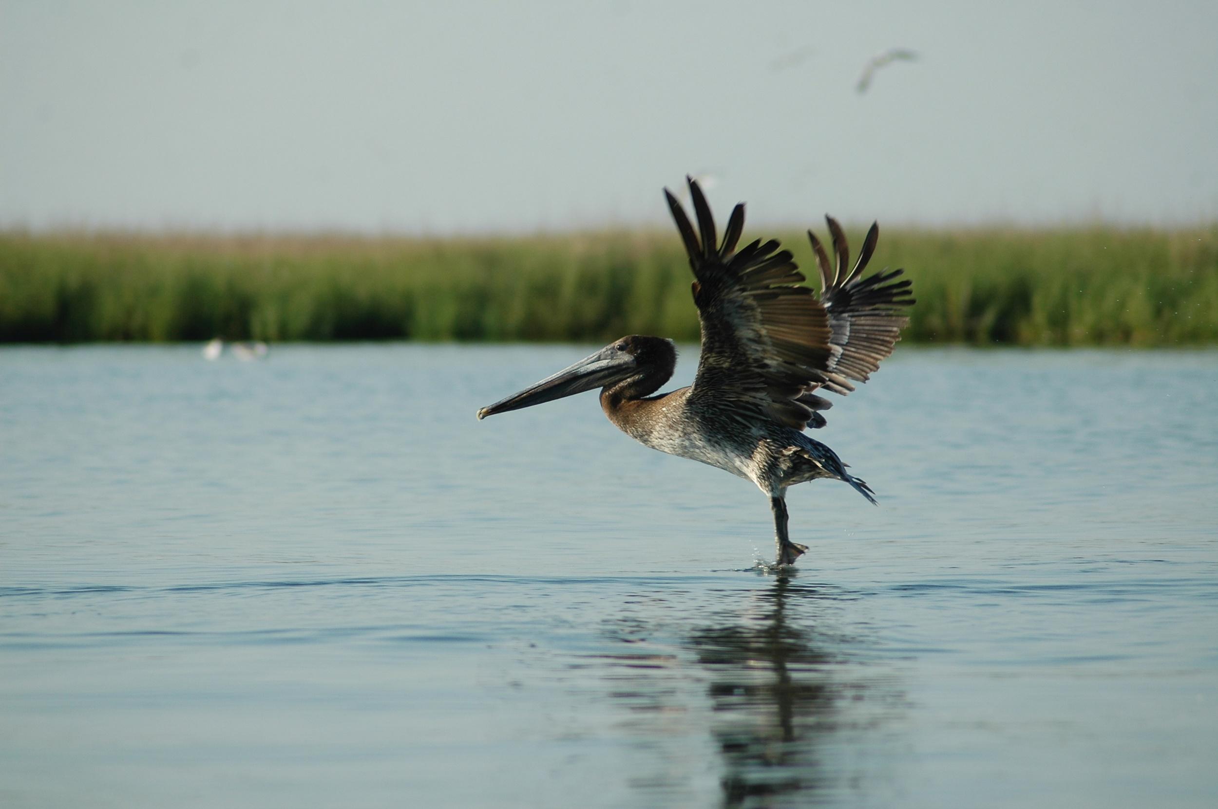 On Delmarva: Brown Pelican taking flight