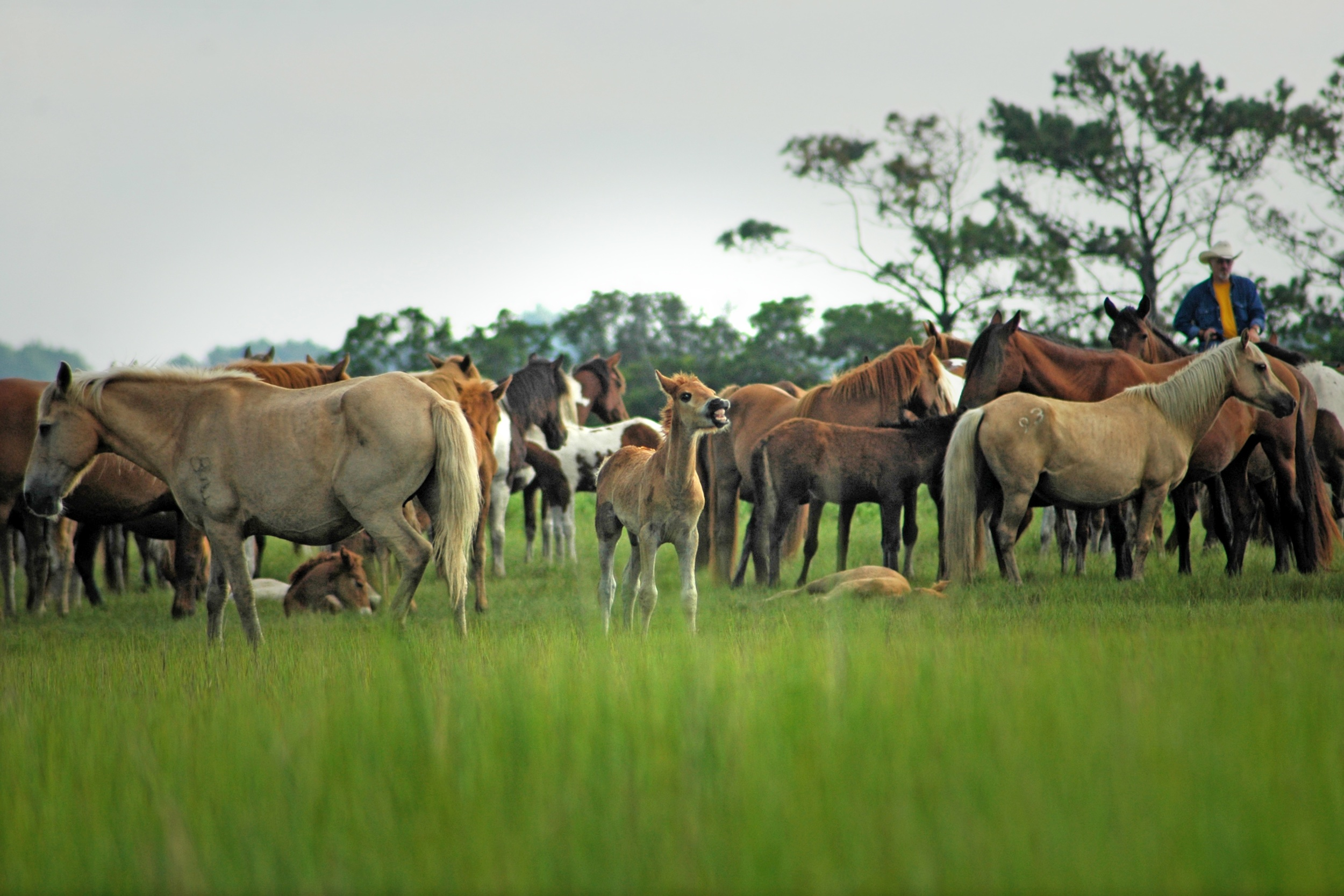 Events: Chincoteague Pony Penning