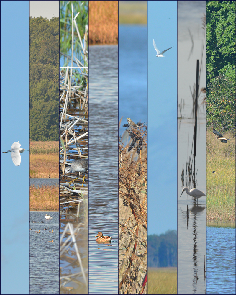 Just a few of the birds spotted at Bombay Hook this week