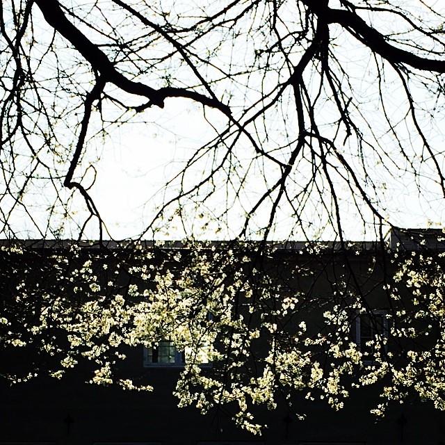 #blossom #spring #copenhagen
