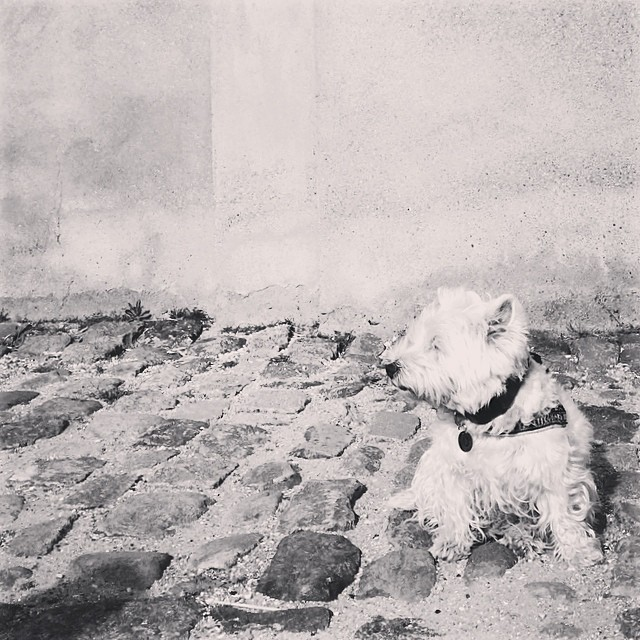 #marcy the #westie facing into the #breeze at #christiansborg #copenhagen - #blackandwhite #instadogs