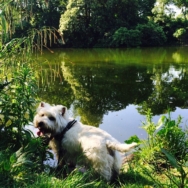 #marcy the #westie considers going for a swim, but thinks better of it - #ørstedspark #copenhagen