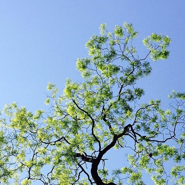 #locusttree in #ørstedspark #copenhagen