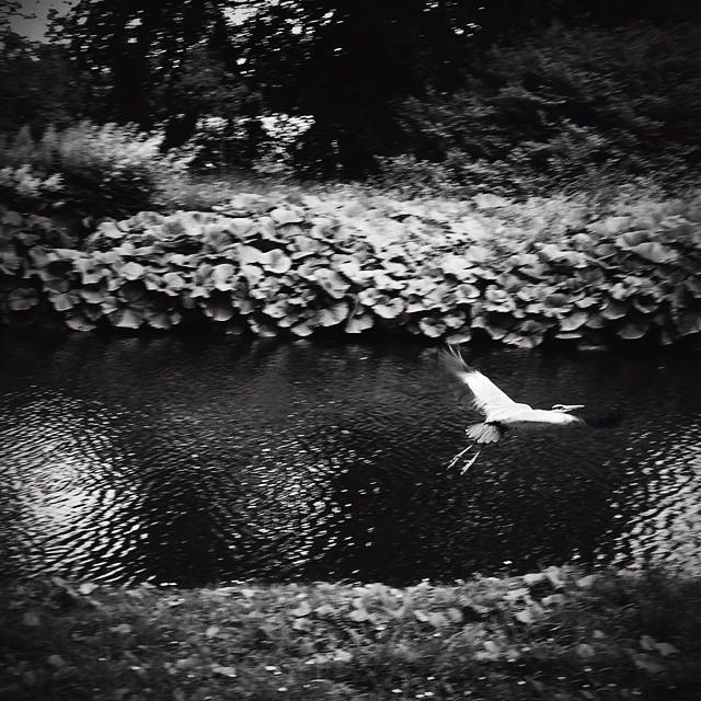 #heron in #fredriksbergpark #copenhagen #blackandwhite #vscocam