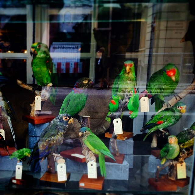 This #parrot is no more - #taxidermy #stuffed #birds #copenhagen #collection