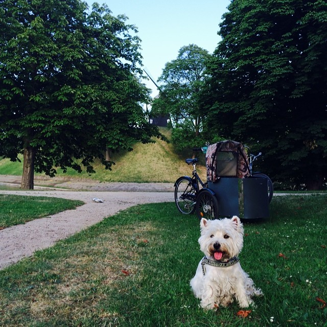#marcy the #westie waiting patiently whilst we eat our #summer #evening #picnic at the #kastellet #copenhagen