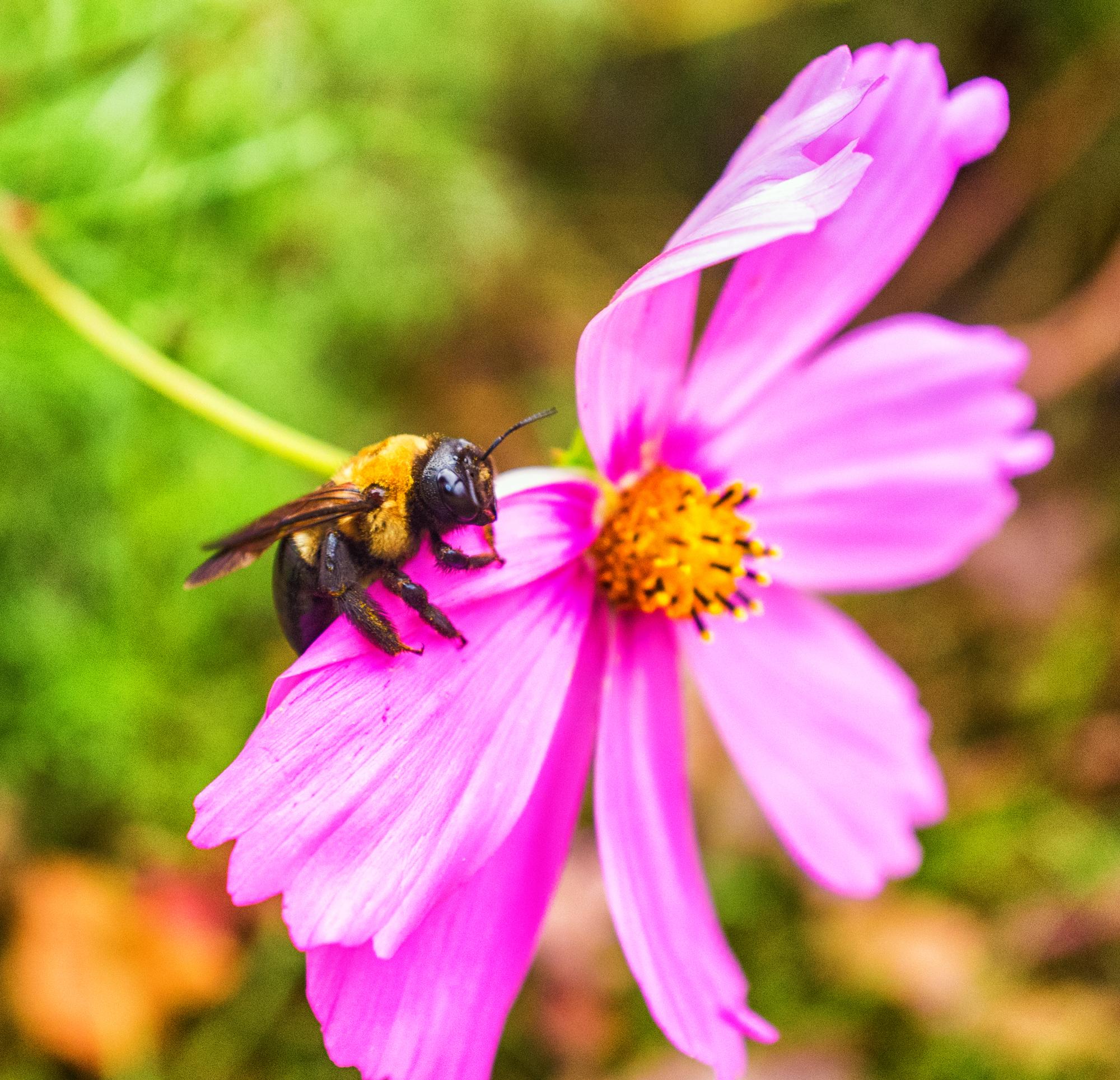 Bumble Bee - Fuji X100, 23mm, f/4.0, ISO 1600, 1/80sec
