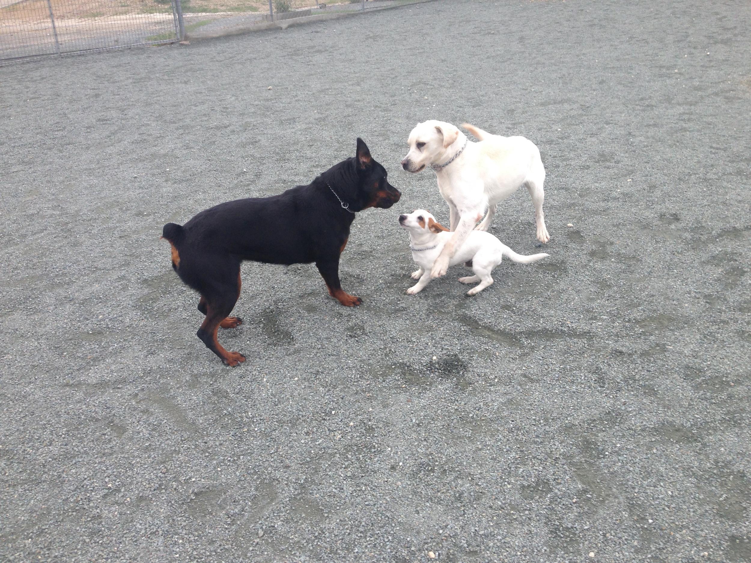 dog_ranch_rottweiler_labrador_jack_russel.JPG