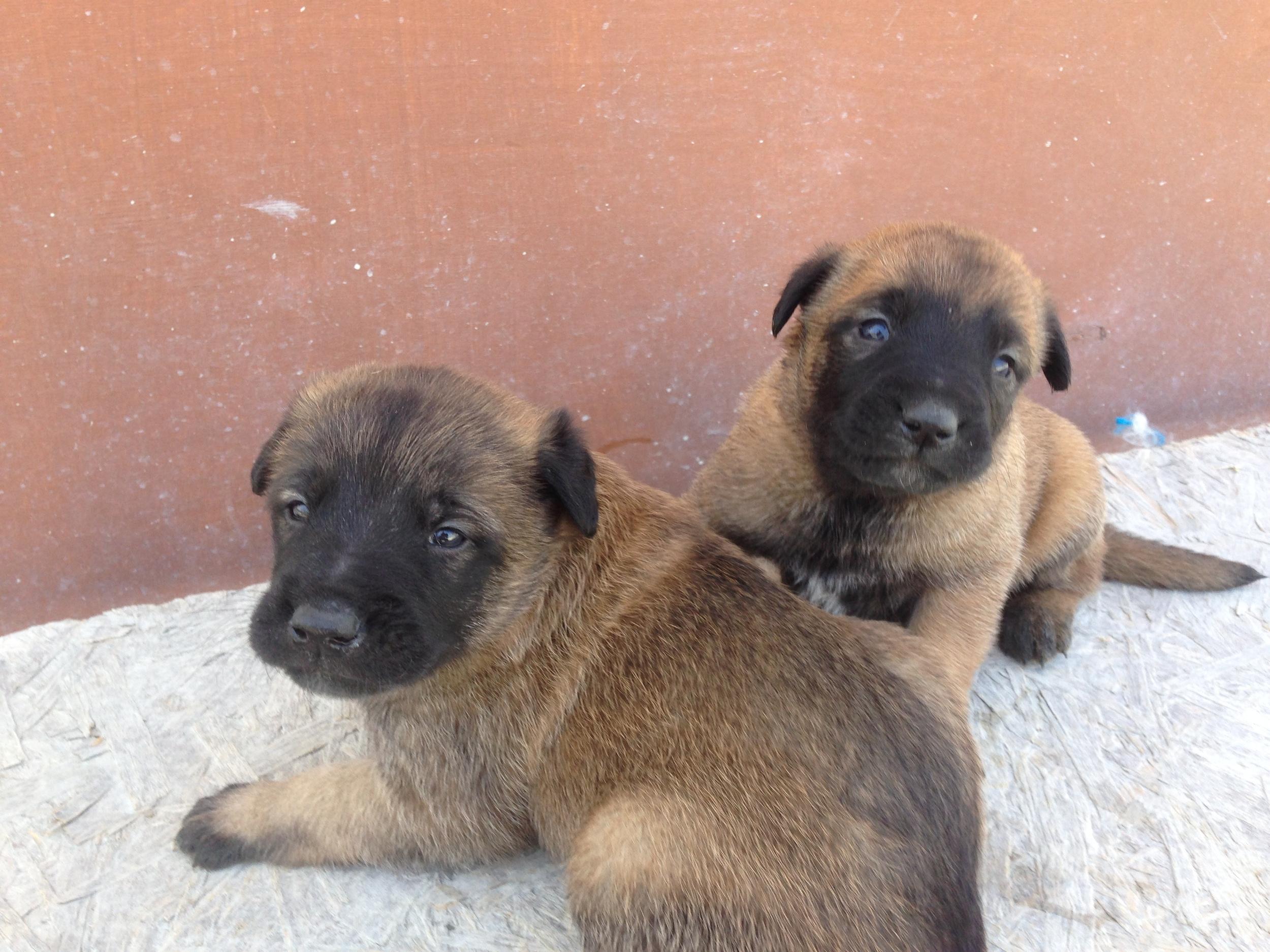 Imalinois_puppy_cyprus_dog_ranch_3.JPG