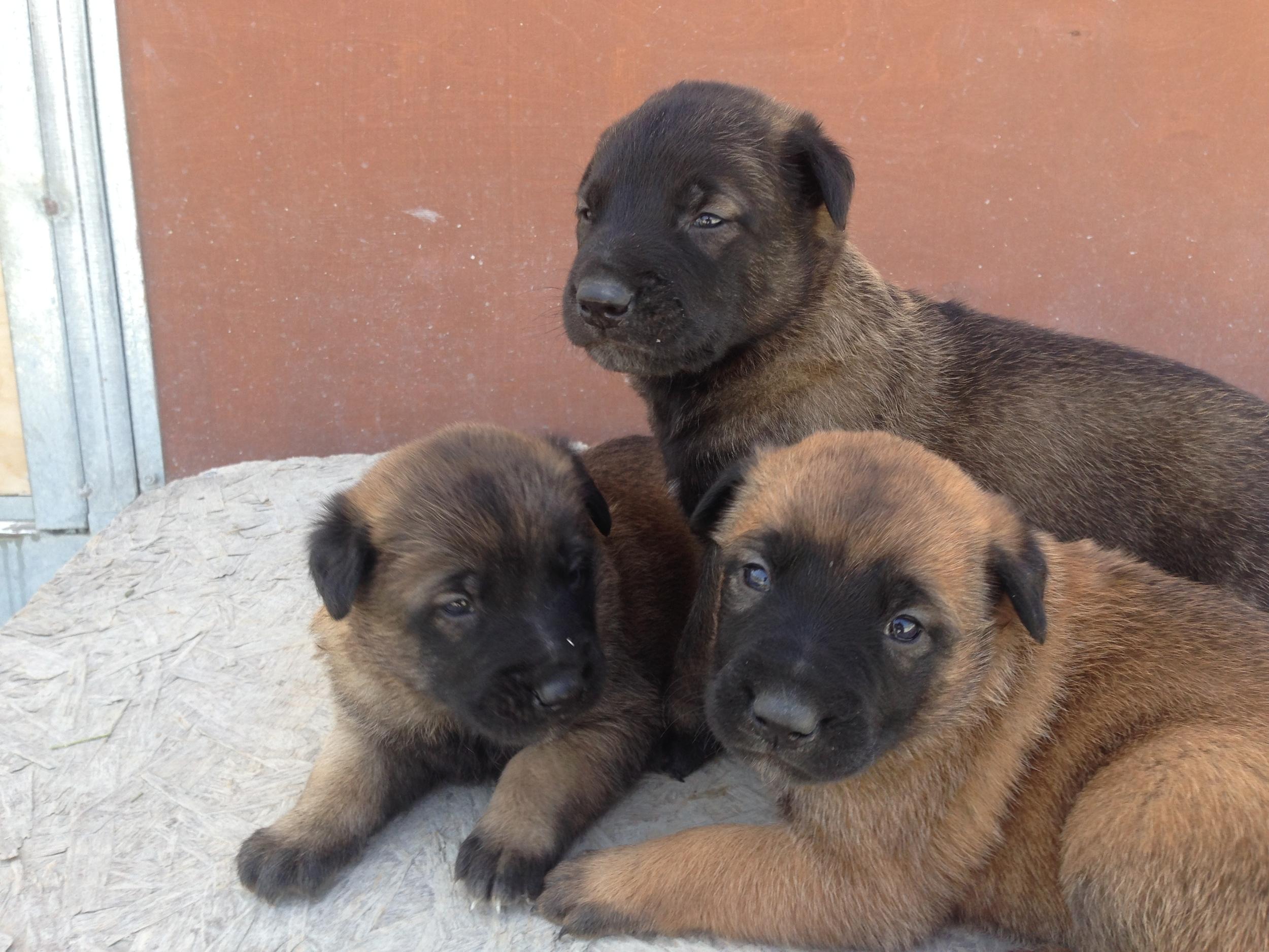 malinois_puppy_cyprus_dog_ranch_6.JPG