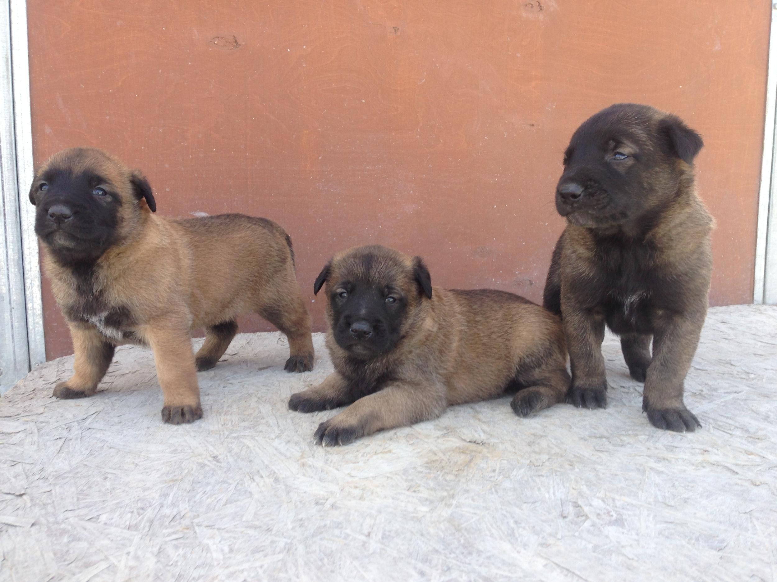 malinois_puppy_cyprus_dog_ranch_9.JPG