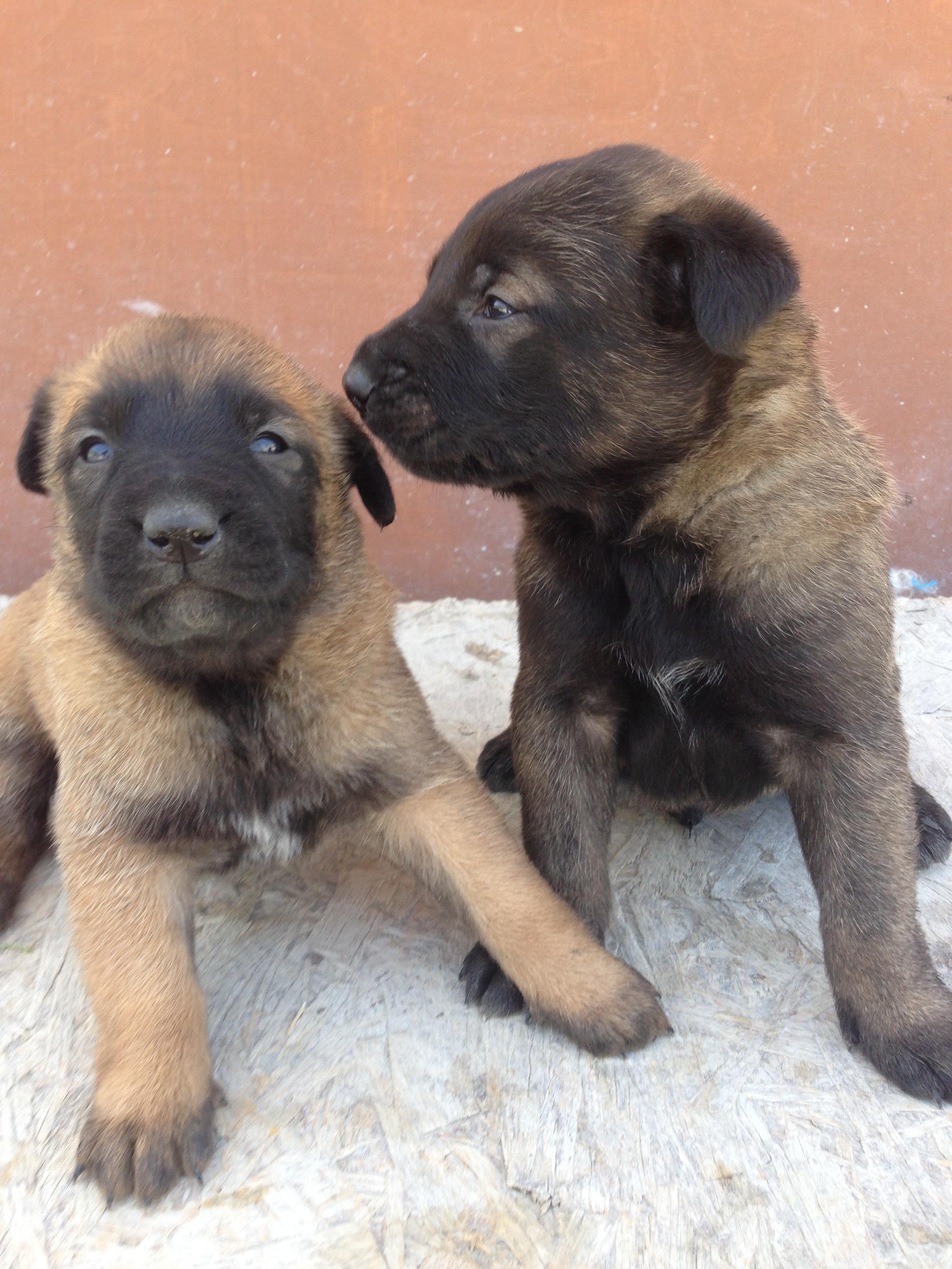 malinois_puppy_cyprus_dog_ranch_12.JPG