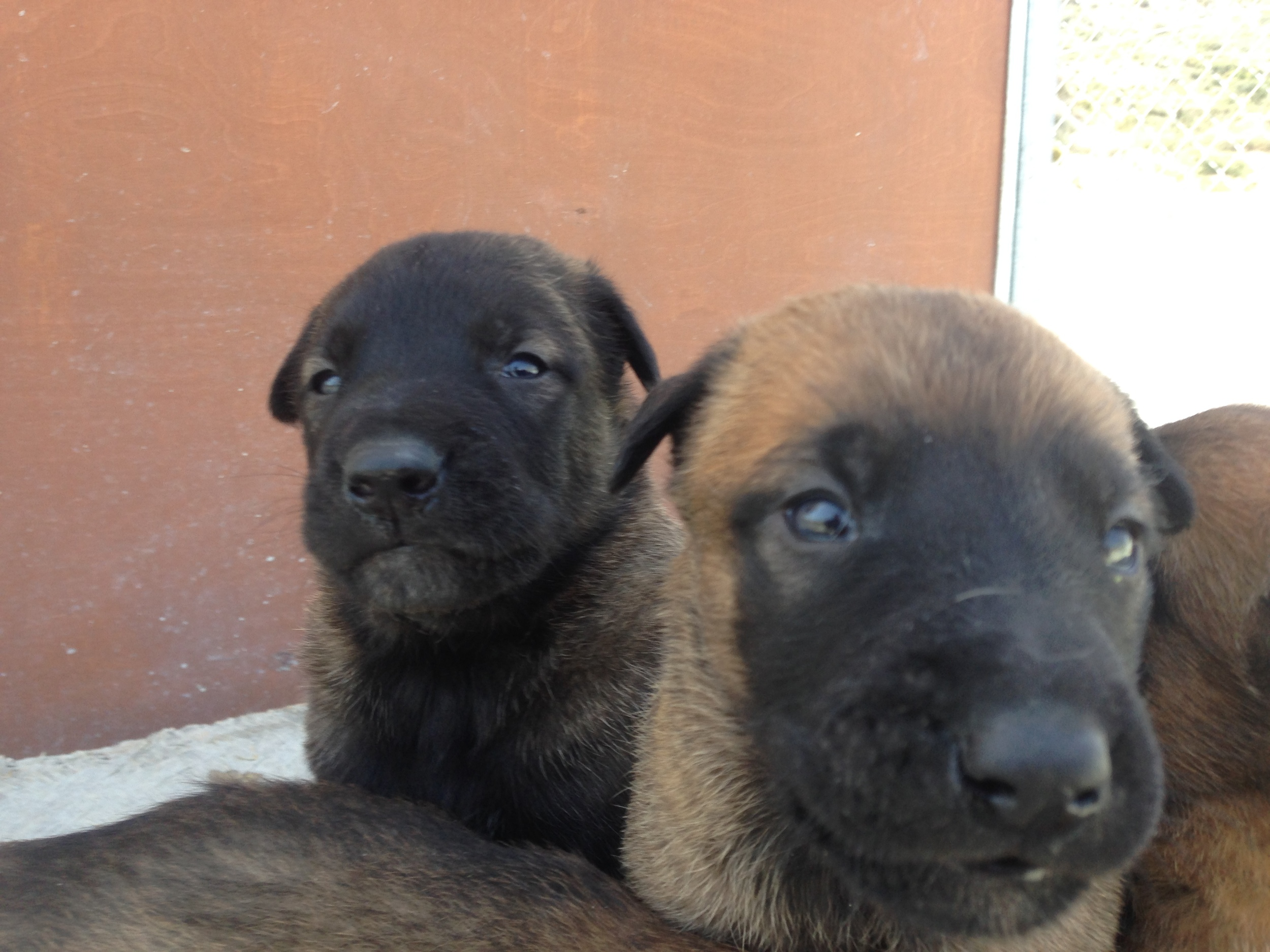 malinois_puppy_cyprus_dog_ranch_17.JPG