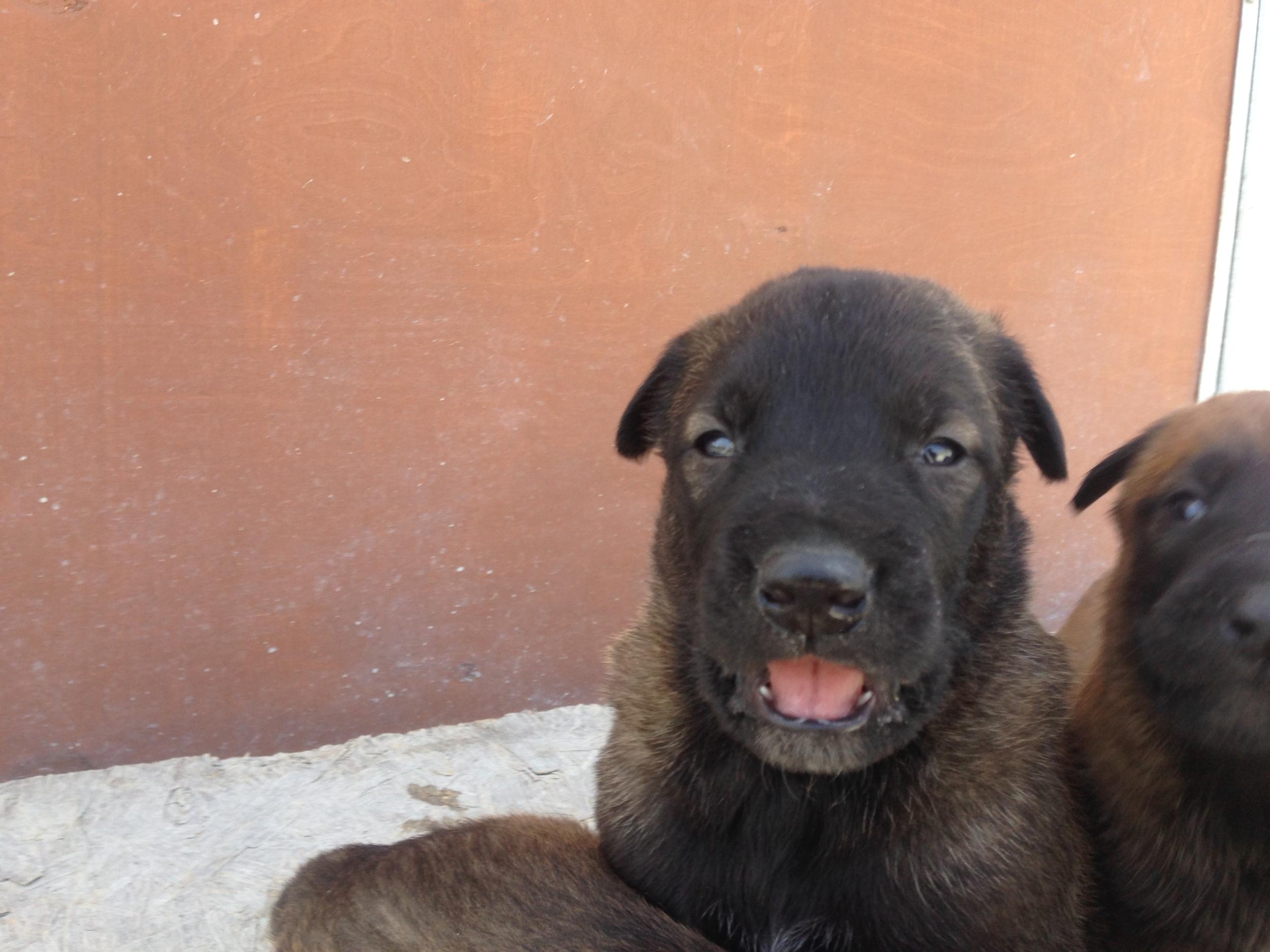 malinois_puppy_cyprus_dog_ranch_18.JPG