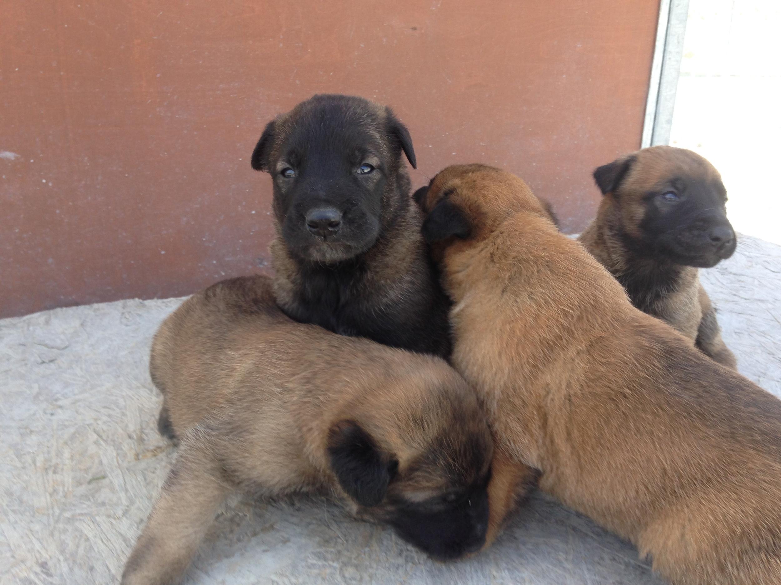 malinois_puppy_cyprus_dog_ranch_19.JPG