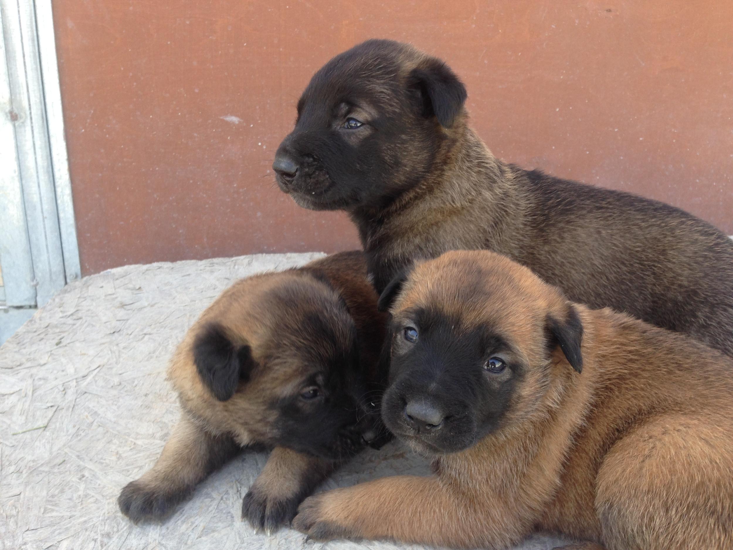 malinois_puppy_cyprus_dog_ranch_20.JPG