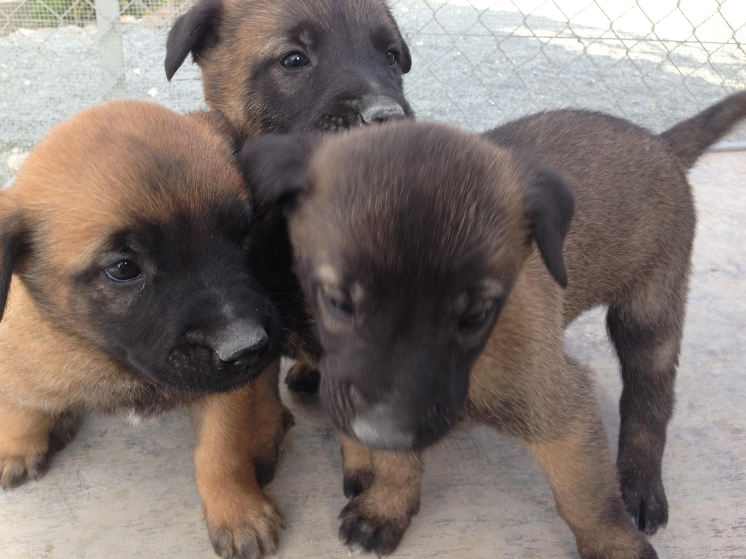 malinois_puppy_cyprus_dog_ranch_22.JPG
