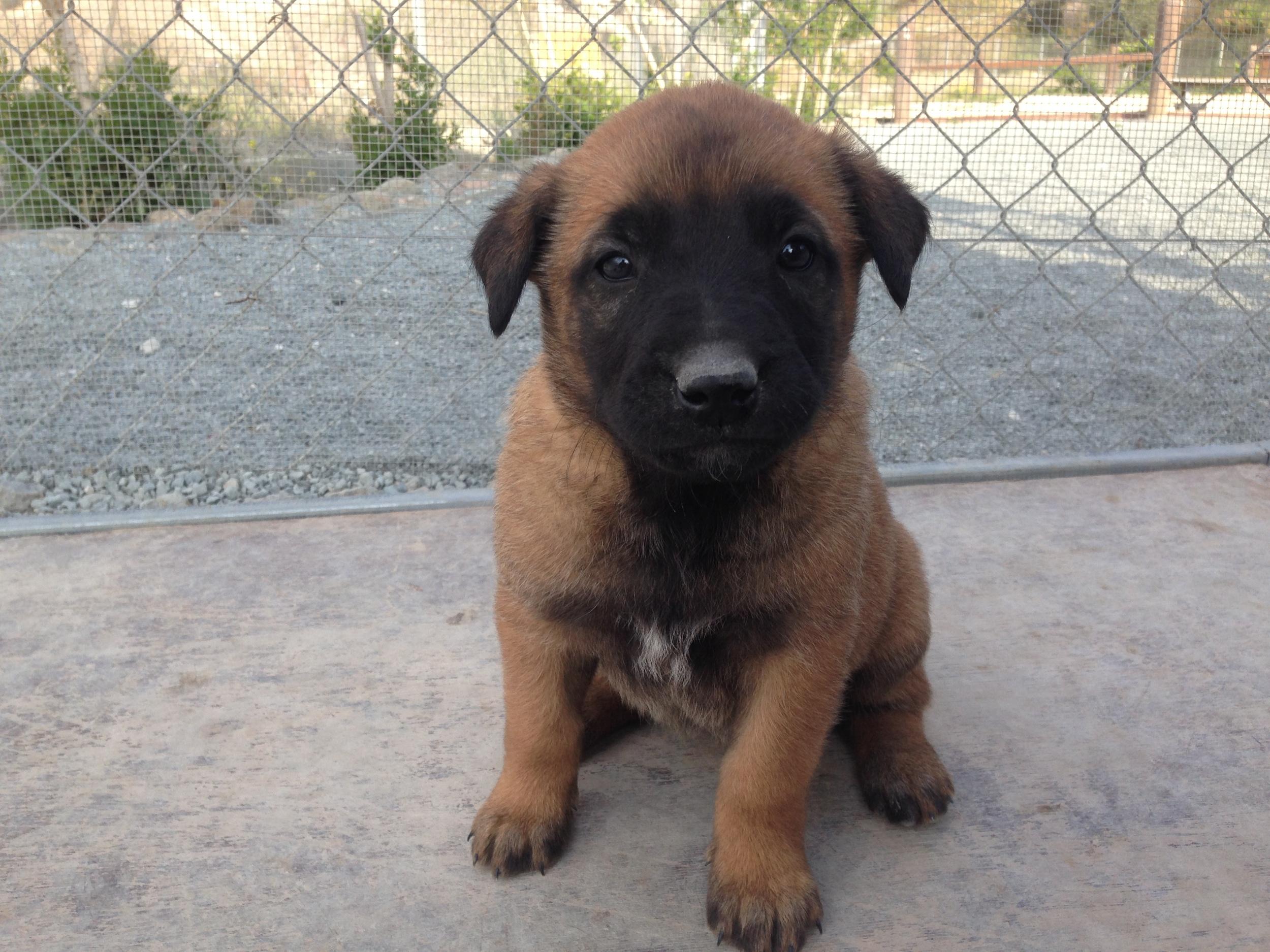 malinois_puppy_cyprus_dog_ranch_25.JPG