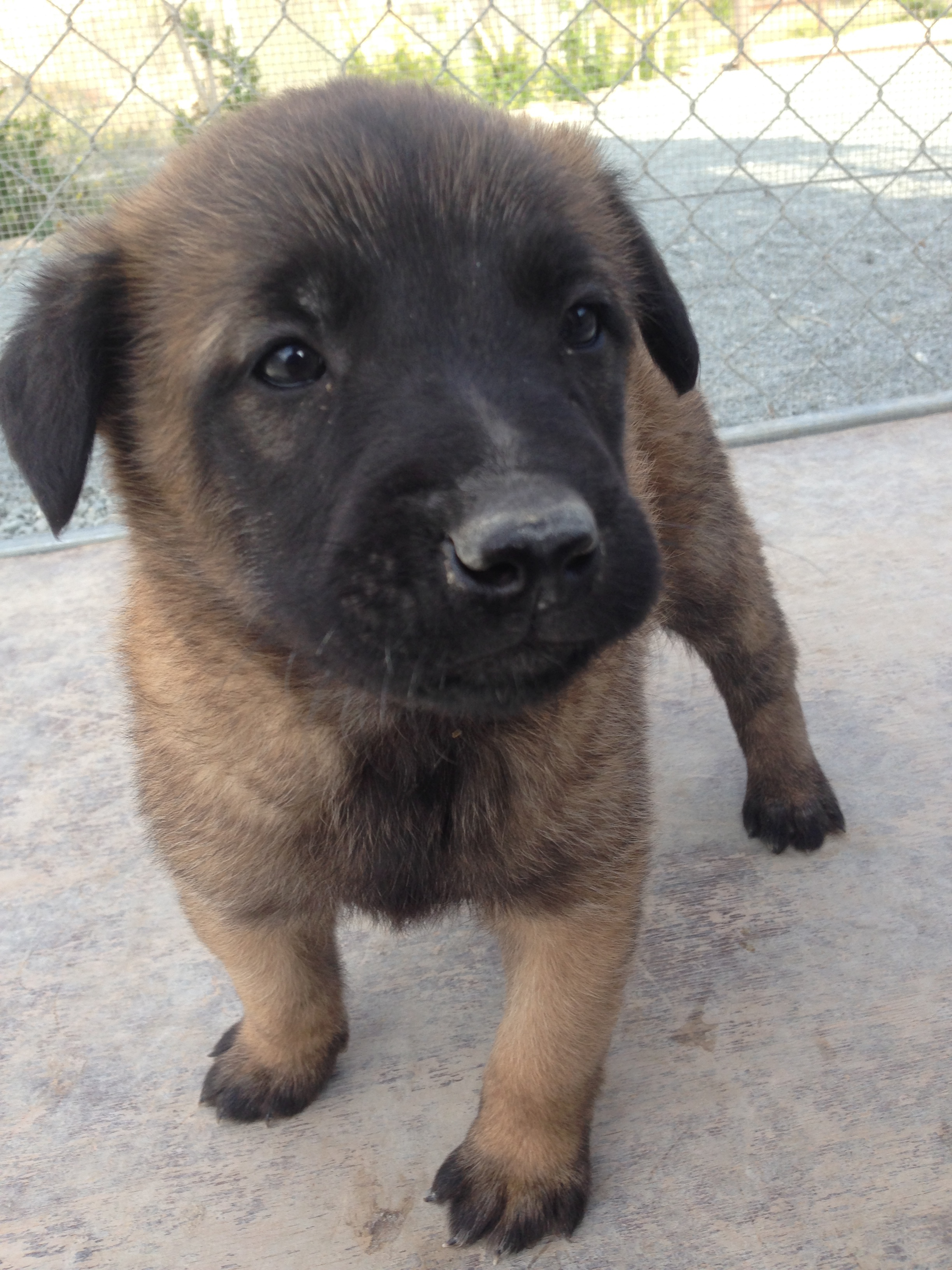 malinois_puppy_cyprus_dog_ranch_28.JPG